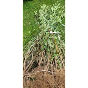 Liguster 'liga' 80 til 120 cm. 2 gange omplantet. 4 til 6 grene