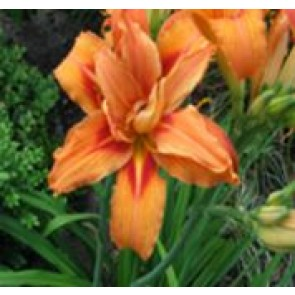 Daglilje (Hemerocallis hybr. 'Apricot Beauty') - Staude i 2 liter potte - Sælges kun i pakke á 3 stk.