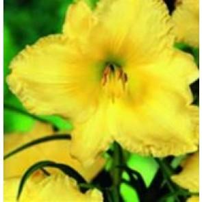 Daglilje (Hemerocallis hybr. 'Big Time Happy') - Staude i 2 liter potte - Sælges kun i pakke á 3 stk.