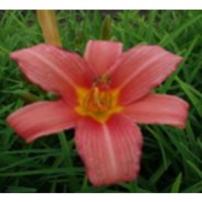 Daglilje (Hemerocallis hybr. 'Pink Damask') - Staude i 2 liter potte
