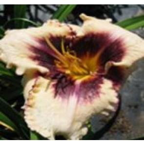 Daglilje (Hemerocallis hybr. 'Sabine Baur'') - Staude i 2 liter potte - Sælges kun i pakke á 3 stk.