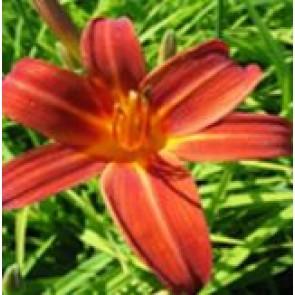 Daglilje (Hemerocallis hybr. 'Sammy Russell') - Staude i 2 liter potte