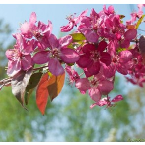 Paradisæble-busk 'Coccinella' (Malus hybrid 'Coccinella') - Buske i 5 liter potte