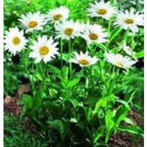 Kæmpemargerit (Leucanthemum 'Becky') - Staude i 1 liter potte - Sælges kun i pakke á 3 stk.