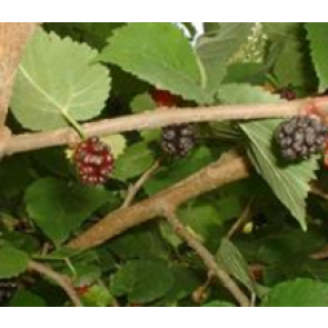Morbær (Morus nigra) - Træ i potte 125-150 cm
