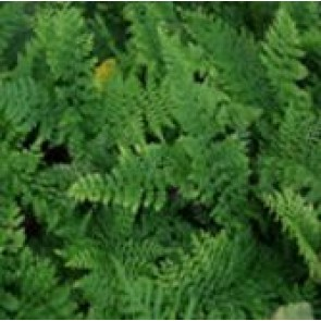 Mosbregne (Polystichum setiferum) - Bregne i 10 x 10 cm potte - Sælges kun i pakke á 3 stk.