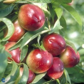 Nektarin 'Independence' (Prunus nucipersica 'Inderpendence' Buske i 7,5 liter potte