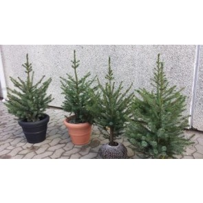Serbisk gran (Picea omorika) - Potte 60-80 cm