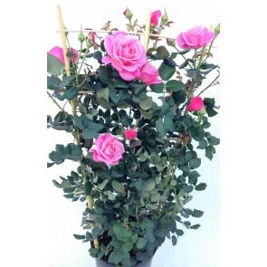 Slyngrose 'Our last summer' (Rosa Our last summer')  -Slyngrose i 4 l potte