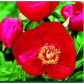 Pæon - enkelt (Paeonia lact. 'Blaze') - Staude i 2 liter potte - Sælges kun i pakke á 3 stk.