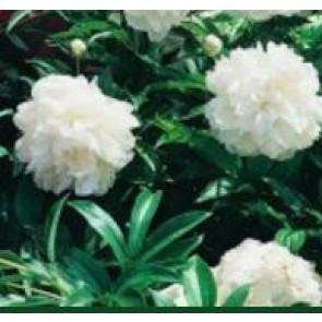 Silkepæon (Paeonia lact. 'Shirley Temple') - Staude i 2 liter potte - Sælges kun i pakke á 3 stk.