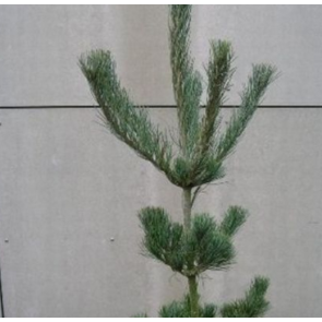 Penselfyr (Pinus parviflora 'Glauca') - 3 liter potte 40-50 cm