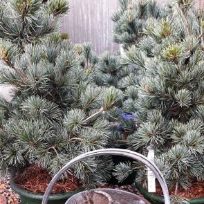 Penselfyr 'Negish' (Pinus parviflora 'Negish') 50 - 60 cm bred. - 2,5 liter potte 20-25 cm