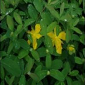 Perikon (Hypericum calycinum' ) - Staude i 1 liter potte - Sælges kun i pakke á 3 stk.