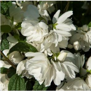 Uægte jasmin (Philadelphus coronarius 'Snowbelle') - Buske i 5 liters potte