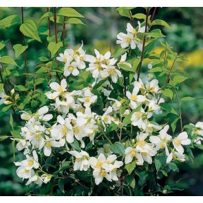 Uægte jasmin ( 'Philadelphus polyanthus 'Mont Blanc') - Buske i 3,5 liters potte