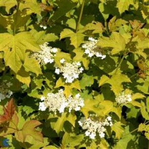 Blærespiræa (Physocarpus opulifolius 'Dart's Gold') -