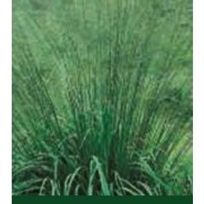Pibegræs (Molinia arundinacea 'Transparent') - Græs i 1 liter potte - Sælges kun i pakke á 3 stk.