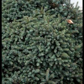 Pindsvinegran (Picea glauca 'Echiniformis') - 2 liter potte 15-20 cm
