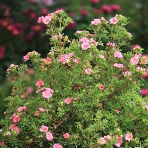 Buskpotentil (Potentilla fruticosa 'Pink Paradise') Buske i 3,5 liters potte