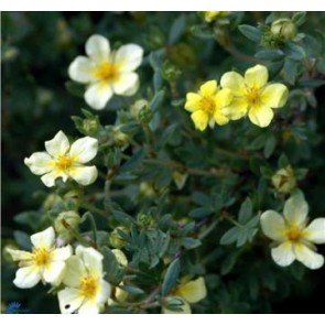 Buskpotentil (Potentilla fructicosa 'Månelys') - barrodet 30 - 50 hækplante