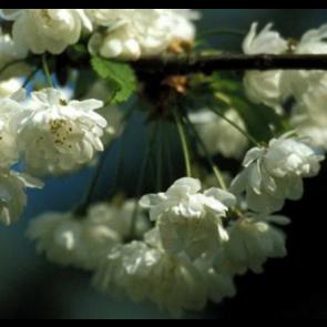Prydkirsebær (Prunus avium 'Plena') - Træ i potte 175-200 cm