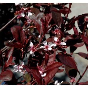 Dværgblodblomme (Prunus cistena) - Co buske