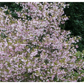 Prydkirsebær  (Prunus incisa 'Kojou-no-Mai) ' - Podet træ på 60 cm stamme