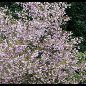 Prydkirsebær (Prunus incisa 'Kojou-no-Mai) ' - Podet træ på 80 cm stamme