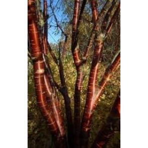Flerstammet Tibetansk kirsebær (Prunus serrula) - Potte 2-3 grene 200-250 cm