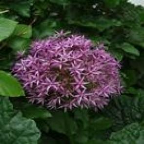 Stor lilla Prydløg - Allium 'Purple Sensation'  - Staude i 1 liter potte  - Sælges kun i pakke á 3 stk.