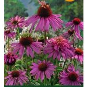 Purpursolhat (Echinacea purpurea 'Doubledecker') - Staude i 10 x 10 cm potte