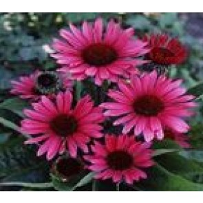Purpursolhat (Echinacea purpurea 'Fatal Attraction') - Staude i 1 liter potte