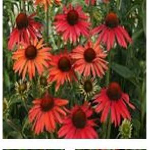Purpursolhat (Echinacea purpurea 'Hot Summer') - Staude i 1 liter potte - Sælges kun i pakke á 3 stk.