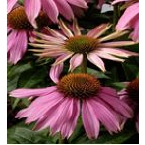 Purpursolhat (Echinacea purpurea 'Mistral'® ) - Staude i 1 liter potte