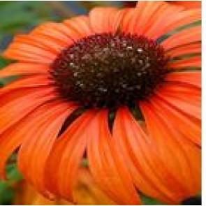 Purpursolhat (Echinacea purpurea 'Tangerine Dream'® ) - Staude i 1 liter potte - Sælges kun i pakke á 3 stk.