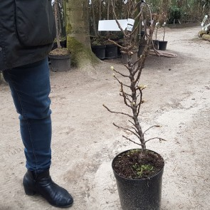 Pære 'Dvalin'  på svag grundstamme - Dværgtræ på 40 cm stamme
