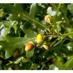 Stilkeg / Almindelig eg (Quercus robur)  -Træ i potte 150 - 175 cm
