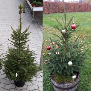Rødgran (Picea abies) - i potte 80 - 100 cm høj