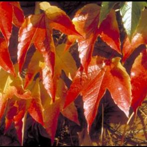 Rådhusvin (Parthenocissus tricuspidata 'Veitchii') - 2 liter potte 60 cm