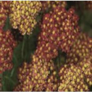 Røllike (Achillea millefolium 'Exp. Desert Eve Red') - Staude i 1 liter potte