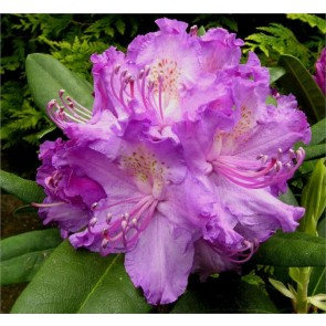 'Alfred'  (Rhododendron 'Alfred')  - Buske i 5 liters potte 30-40 cm