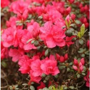 'Canzonetta' (Rhododendron 'Canzonetta') - Buske i 2 liters potte 20-25 cm