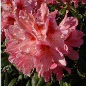 'Cosmopolitan'  Rhododendron 'Cosmopolitan')  - Buske i 5 liters potte 30-40 cm