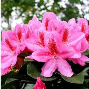 'Furniwall`s Daugther'   (Rhododendron 'Furniwall`s Daugther' ) - Buske i 5 liters potte 30-40 cm