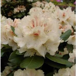 'Goldbukett' (Rhododendron Goldbukett' ) - Buske i 5 liters potte 30-40 cm