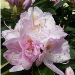 'Gomer Waterer'  (Rhododendron 'Gomer Waterer')  - Buske i 5 liters potte 30-40 cm
