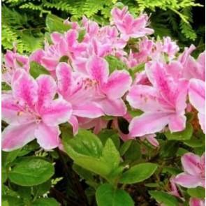 'Kermesina Rosé' (Rhododendron 'Kermesina Rosé') - Buske i 2 liters potte 20-25 cm
