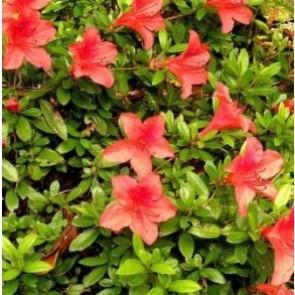 'Nakaharae' (Rhododendron 'Nakaharae') - Buske i 2 liters potte 20-25 cm