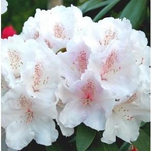 'Schneekrone'   (Rhododendron Yak. 'Schneekrone')   - Buske i 5 liters potte 30-40 cm